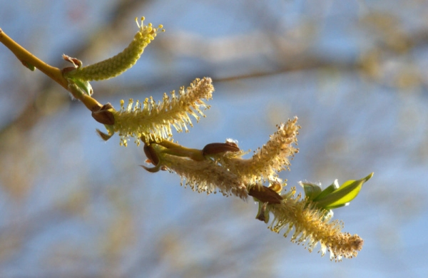 Cottonwood flowers_CanonCity-CO_LAH_0788