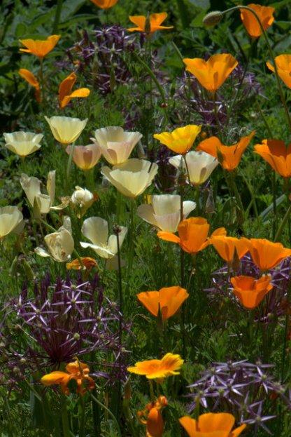 California poppies & Allium