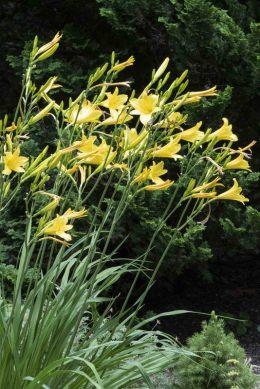 Daylilies, Hemerocallis