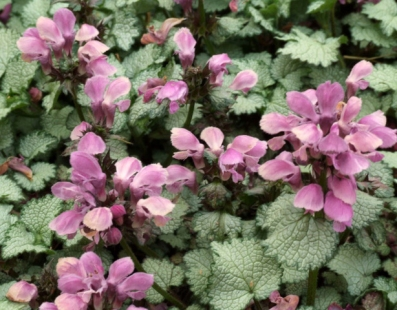 Deadnettle, Lamium