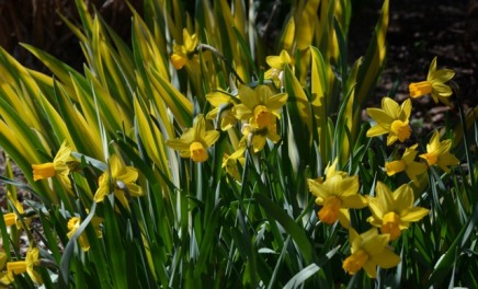 Narcissus_Daffodil_with Variegated Iris_DBG_LAH_7419r