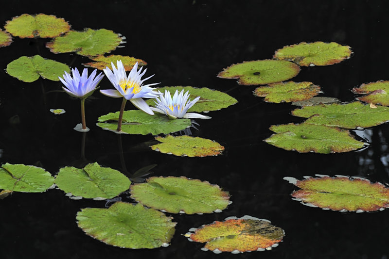 Nymphaea_Waterlily_DBG_LAH_7115_4x6_filtered