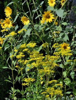 Sunflowers & golden lace (Patrinia scabiosifolia)