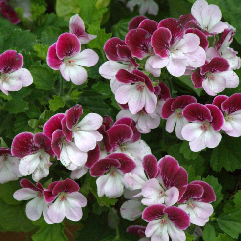 Geranium (Pelargonium)