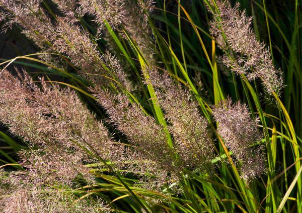 Pennisetum alopecuroides 'Caudatum'_Chinese Pennisetum_DBG_LAH_4179
