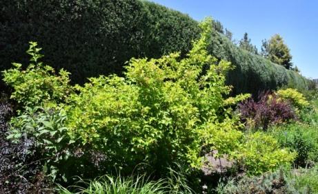 'Dart's Gold' Ninebark (Physocarpus opulifolius)