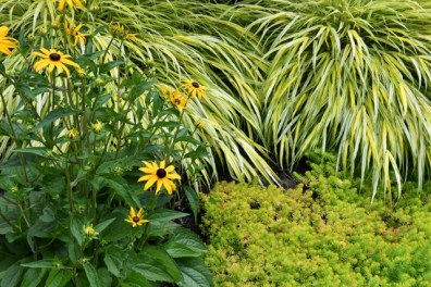Japanese Forest Grass (Hakonechloa) with Rudbeckia