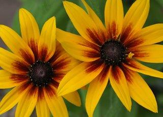 Gloriosa Daisy (Rudbeckia)