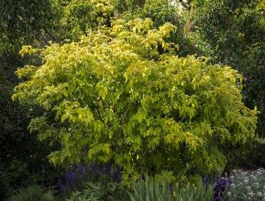 Golden Elderberry (Sambucus nigra canadensis 'Aurea'