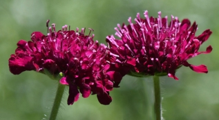 Scabiosa_Pincushion Flower_YampaRiverBotanicPark-SteamboatSprings-CO_LAH_6402