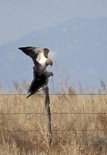 Swainson's Hawks mating_SE-CO_20100414_LAH_2277