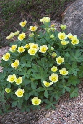 American Globeflower, Trollius laxus