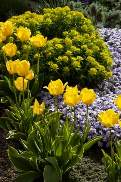Tulips & creeping phlox