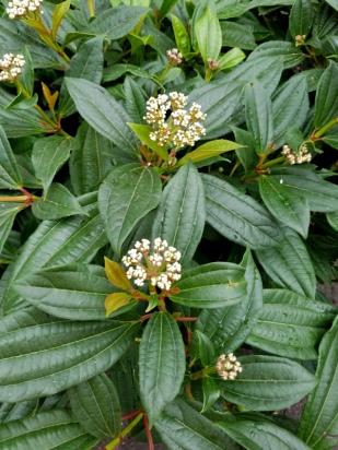 Cranberrybush , Viburnum opulus