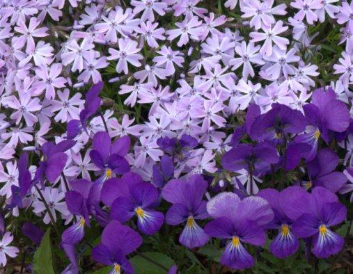 Viola & Phlox_Purple_DBG_LAH_5161