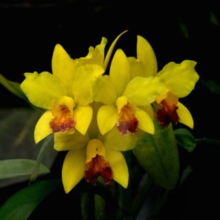 Orchid 'Denver Gold'