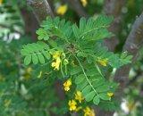Caragana arborescens_Siberian Pea Shrub'_HudsonGardens-CO_LAH_2727