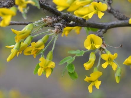 Caragana arborescens_Siberian Pea Shrub_XG-COS-CO_LAH_5448