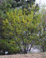 Caragana arborescens_Siberian Pea Shrub_XG-COS-CO_LAH_5462r
