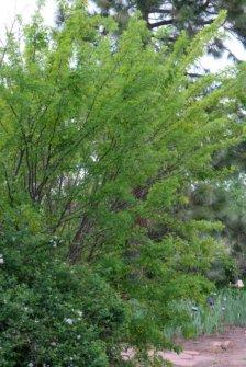 Caragana arborescens_Siberian Peashrub_HudsonGardens-CO_LAH_5902