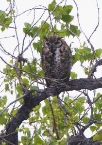 Great Horned Owl_FCRP7w-EPC-CO_LAH_5724r