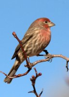 House Finch_ColoSpgs-CO_LAH_2224.nef