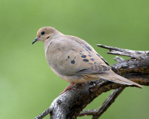 Mourning Dove_Cornville-AZ_LAH_5597