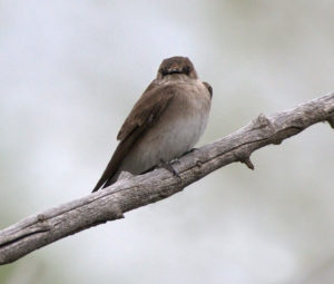 Northern Rough-winged Swallow_FCRP-Sect7-EPC-CO_LAH_5668