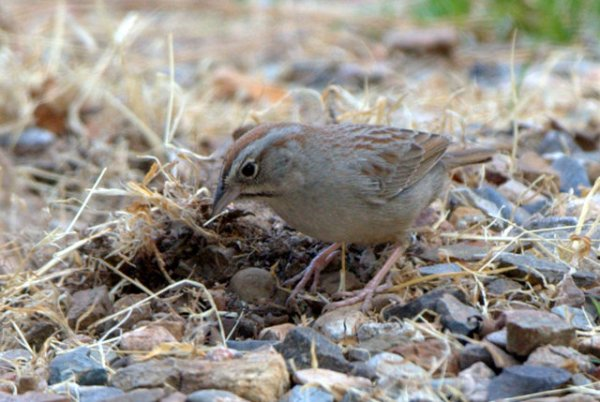 Rufous-crowned Sparrow_RamseyCyn-AZ_LAH_7918