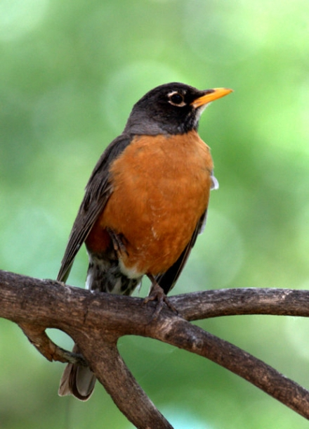 American Robin adult male