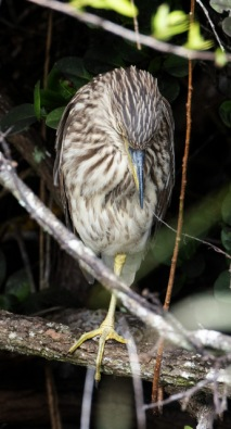 Immature Night-heron_SharkValley-EvergladesNP-FL_LAH_5782r
