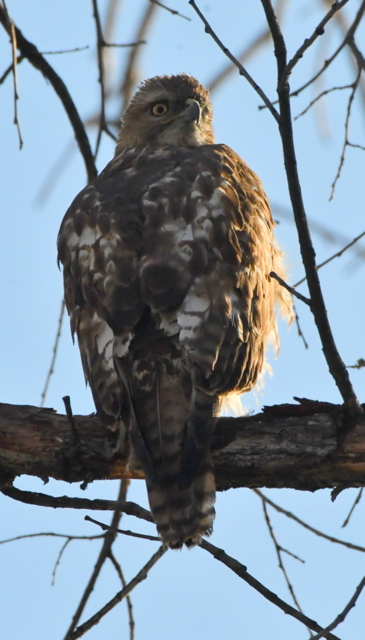 Red-tailed Hawk_ProspectLake-COS-CO_LAH_2848
