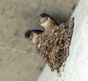 Swallows in nest_DBG_LAH_2901f