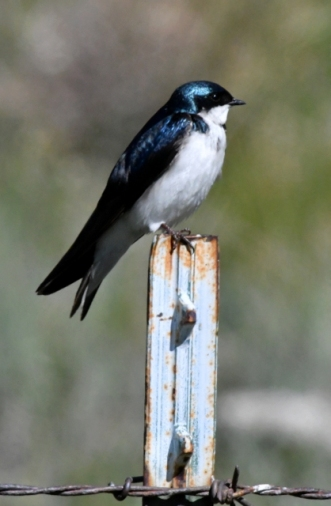 Tree Swallow_CastlewoodCynRd-DouglasCo-CO_LAH_3188