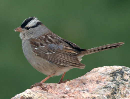 White-crowned Sparrow_MtEvans-CO_LAH_4812