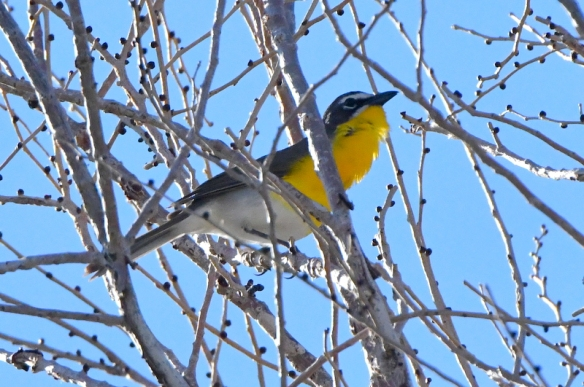 Yellow-breasted Chat_FCRP7w-EPC-CO_LAH_3270