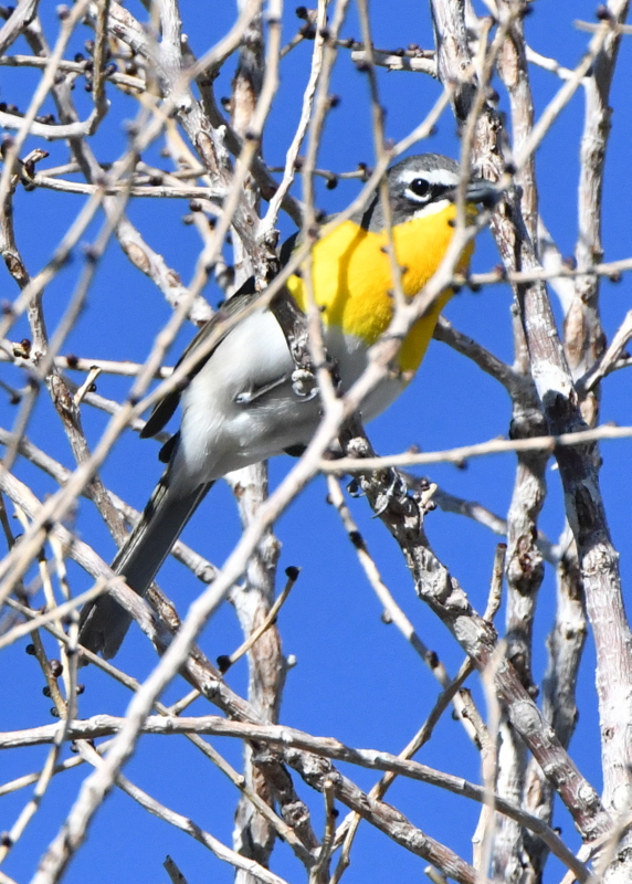 Yellow-breasted Chat_FCRP7w-EPC-CO_LAH_3285-001