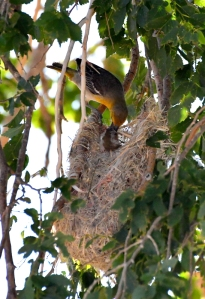 Bullock's Oriole feeding young at nest_SE-EPC-CO_LAH_5357
