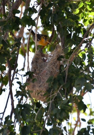 Bullock's Oriole feeding young at nest_SE-EPC-CO_LAH_5363
