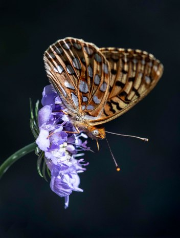 Butterfly on Scabiosa_Pincushion Flower_YampaRiverBotanicPark-SteamboatSprings-CO_LAH_6441r