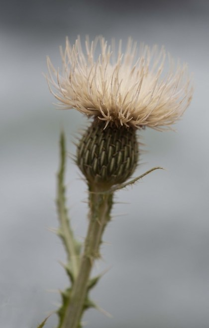 Cirsium canescens_Platte Thistle_ElevenMileCyn-CO_LAH_0874r