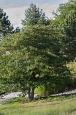Cockspur Hawthorn (Crataegus crus-galli)