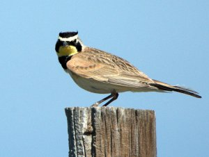 Horned Lark_SE EPC-CO_LAH_7403