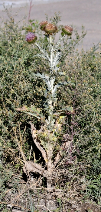 Scotch Thistle (Onopordum acanthium)