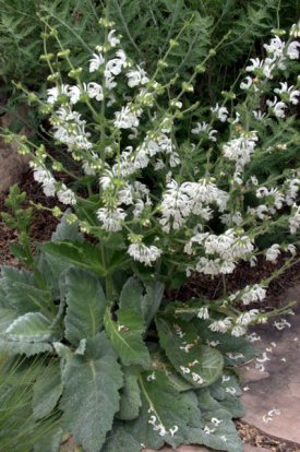 Silver Sage (Salvia argentea)