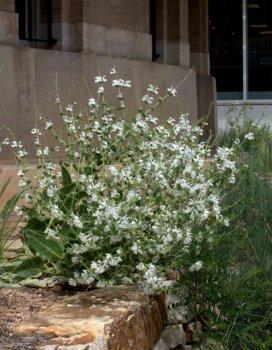 Silver Sage (S. argentea)