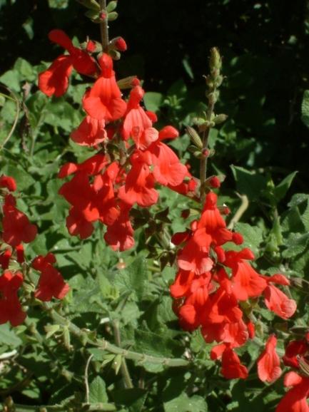 Scarlet Sage (Salvia coccinea_