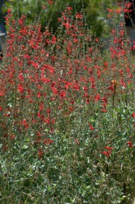 Vermilion Bluffs Sage (Salvia darcyi)