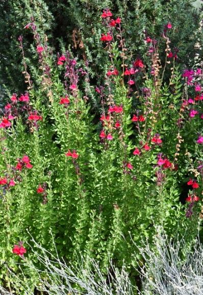 S. greggii 'Furman's Red' Autumn Sage
