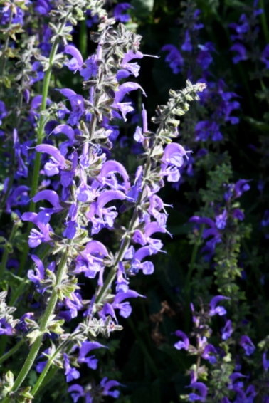 Meadow Clary Sage (S. pratensis)